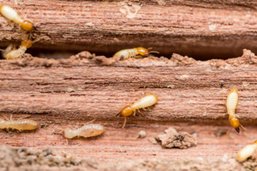 Termites Versus Ants Termite Queen Flying Termites